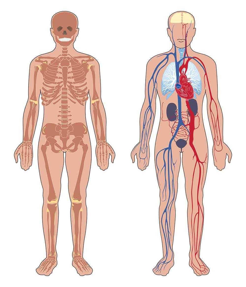 Anatomija ljudskog tijela, kostur, živčani sustav, holistika, holistički pristup